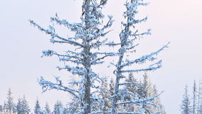 Large dead snowy spruce tree in winter stock footage