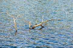 Large dead tree branches in lake. Top down view on old large dead tree branches in lake with subtle waves with copy space Stock Image