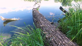 A large dead tree fell in water of pond . The tree is at one end to the other bank of the water end. Sky and clouds reflected on the surface of the water stock footage