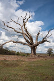 Large Dead Tree Royalty Free Stock Photos