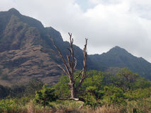 Large Dead Tree surrounded by other trees and brush and mountain. S above in Waianae on the island of Oahu Stock Photos