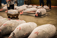 Large dead tuna fishes Royalty Free Stock Images