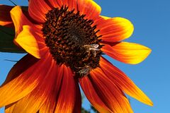 Free Large Decorative Sunflower With Red To Orange Petals And Yellow Petal Tips In Full Blossom With Two Bees Apis Mellifera Stock Photos - 200658343