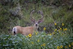 Large Deer Buck Royalty Free Stock Photography