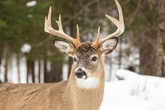 Large deer with large antlers Stock Image