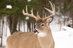 Large deer with large antlers. A large deer with large antlers stock images