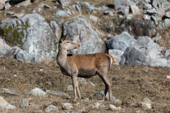 Large deer in a rocky environment Royalty Free Stock Photography