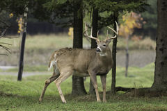 Large deer in the woods Stock Image