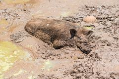 Large dirty black wild pig laying in the mud Royalty Free Stock Photos
