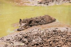 Large dirty black wild pig laying in the mud Stock Photos