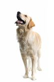 Large dog Royalty Free Stock Images