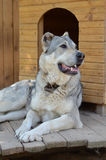 Large dog around the house. Most Central Asian shepherd dog lies near the booth Stock Photography