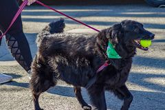 Free Large Dog At The Annual Roanoke Valley SPCA 5K Tail Chaser Stock Photos - 143751853