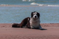Large dog an the beach stock images