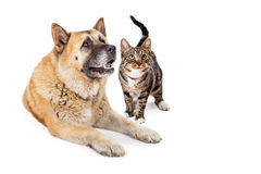 Large Dog and Cat Looking Up Together Stock Photos