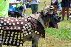 Large Dog Dressed Like Roman Centurion Royalty Free Stock Image