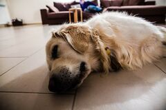 Large dog on floor Royalty Free Stock Photos