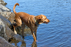 Large Dog Getting in To The Water. A large dog on the edge of the river getting in to the water stock image