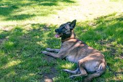 Large dog on grass Royalty Free Stock Photos