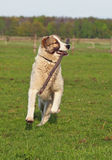 Large dog  hurries on meadow Stock Images