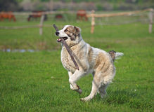 Large dog  hurries with a stick Royalty Free Stock Photo