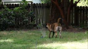 Large dog jumps in sprinkler stock video footage