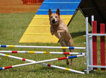 Large dog  leaping over a jump at agility trial Royalty Free Stock Photo