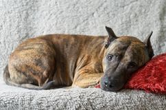 A large dog lies on a soft beige couch with a red pillow Royalty Free Stock Photography