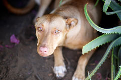 A large dog of light brown color. Sits on a flower bed next to a bush of aloe Stock Images