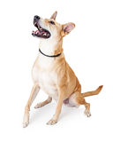 Large Dog Looking Up for a Treat Royalty Free Stock Photo