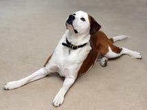 Large dog looks upward Stock Photography