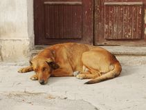 Large dog. A large dog lying before door Royalty Free Stock Photos