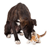 Large dog playing with kitten Royalty Free Stock Images
