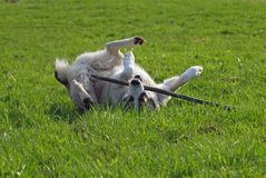 Large dog  plays on green a meadow Royalty Free Stock Photos