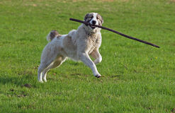 Large dog  plays with a stick on green a meadow Stock Images