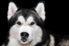 Large dog portrait Stock Images