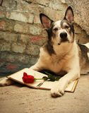 Large Dog Reading and Thinking about Love. Malamute dog wearing glasses laying with a book and a red rose Stock Images