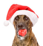 Large dog in red christmas Santa hat with gift box. isolated Stock Photography
