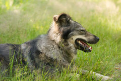 Large dog resting in the grass. Big shaggy dog resting in the tall grass in the shade Stock Image