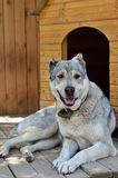A large dog rests near his home. Big dog central asian shepherd dog lying near his home Stock Photos