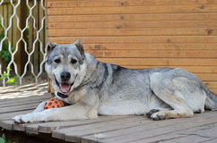 A large dog rests near his home. Big dog central asian shepherd dog lying near his home Royalty Free Stock Photo