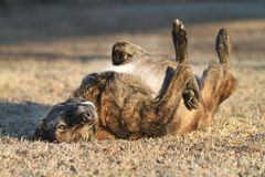 Large Dog rolling in grass, happy and content Stock Photo