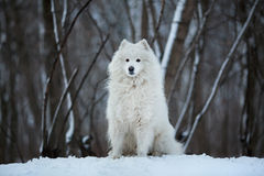 Large dog sitting on the snow Royalty Free Stock Images
