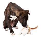 Large dog Sniffing Kitten Stock Photos