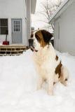 Large Dog in a Snowy Backyard Stock Photo