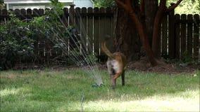 Large dog in sprinkler 2 stock video footage