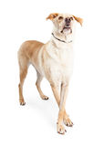 Large Dog Standing Paws Crossed Looking Up Stock Photo