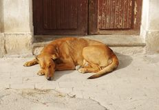 Dog nap. A large dog taking a nap by the door Stock Photos