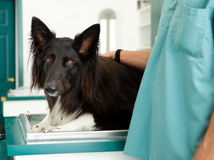 Large Dog at Vet Clinic Royalty Free Stock Photos