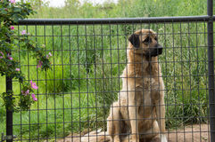 Large dog waiting for master, Anatolian Shepherd. Anatolian shepherd waiting for his master, on watch. Grassy yard and roses complete the image in this country Stock Images